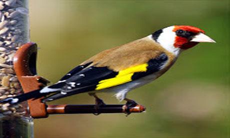 Cit2cuit Com Informasi Dan Tips Pencinta Burung Kicau